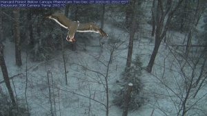 Bird is gliding in a forest, covered with snow, and is watching me
